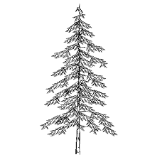 Cad Block of Pine, Fir tree in dwg